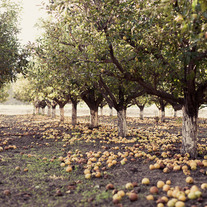 Photo Prints- Fallen Apples