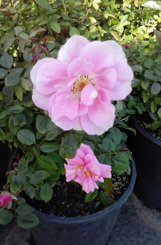 Climbing Pinkie Pink Rose 1 Gal Bush Live Plants Flowers Climbing