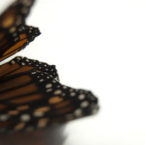 Butterfly_light_wing_medium