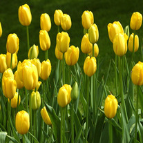 Tulips-yellow2